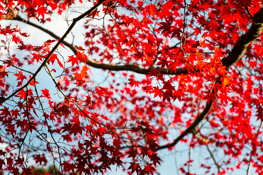 Les momiji, rouge vermillon. Photo : Camille Delbos