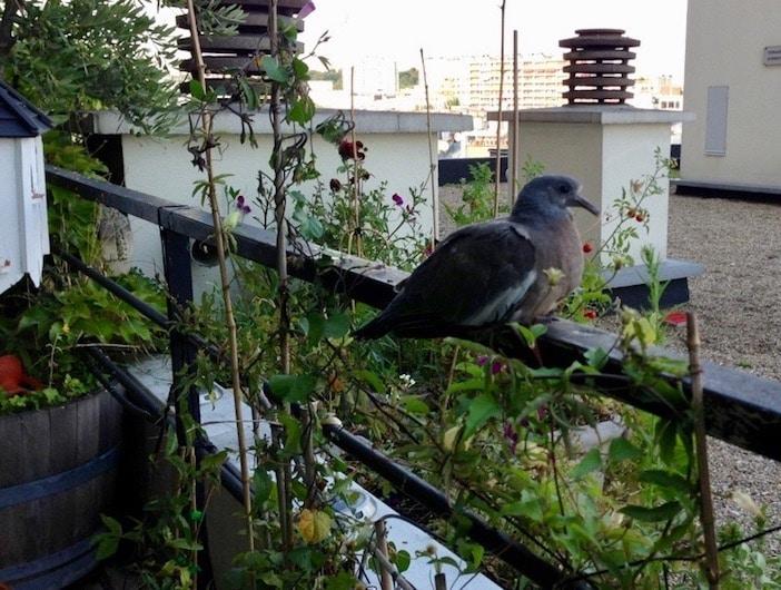 Ici sur la terrasse aux oiseaux, le pigeon ramier, ou palombe, est à distinguer du pigeon biset que l'on trouve partout dans nos villes. Crédit photo : Joseph Veil.