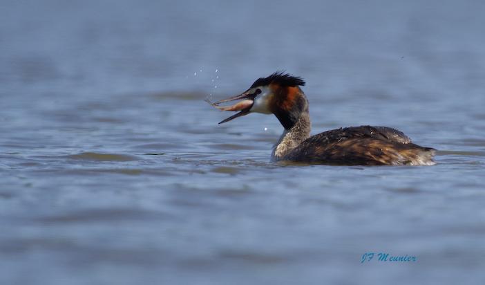 Grèbe huppé, oiseau aquatique