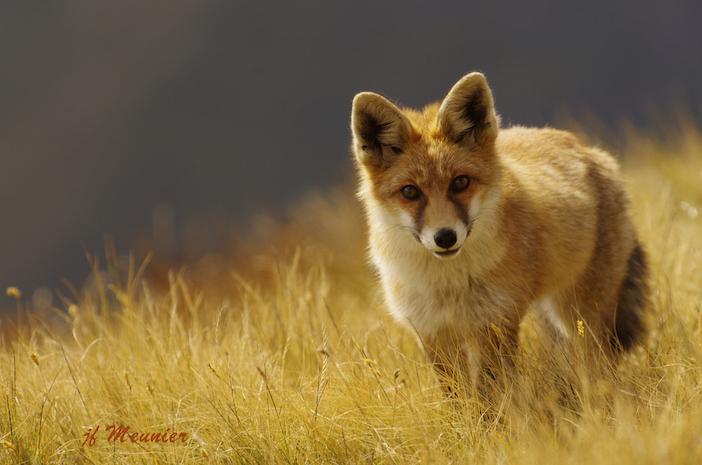 renard dans la nature