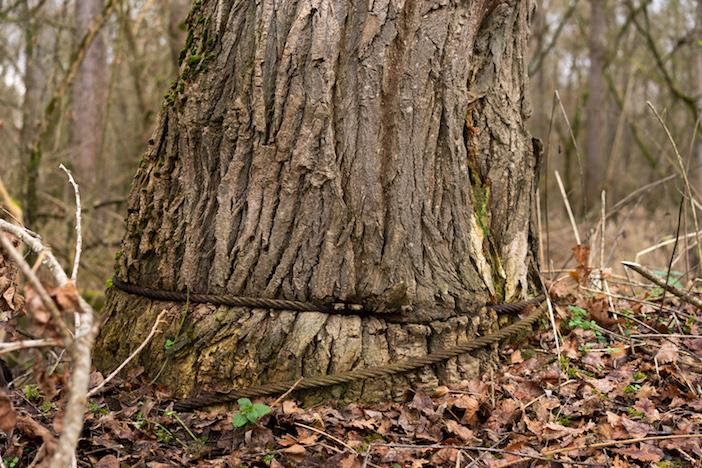 Il délivre un chêne