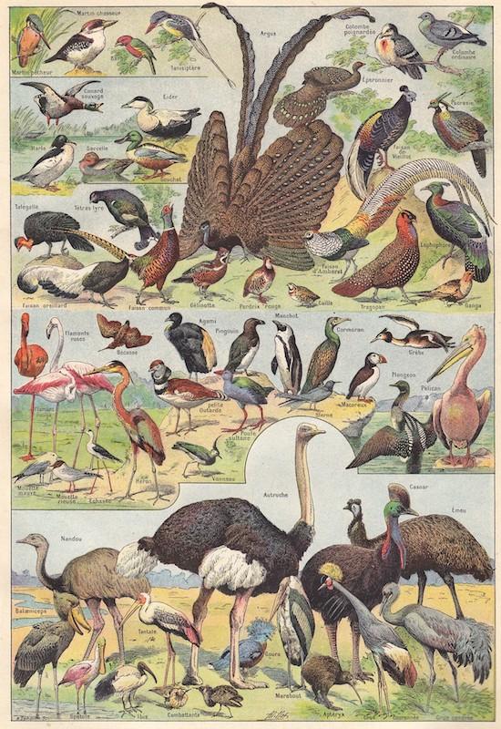 Oiseaux, planche dessinée.