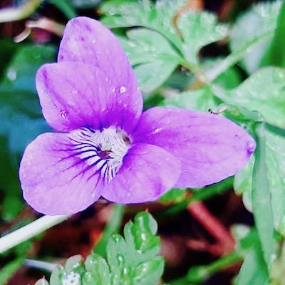 La violette. Photo: Marie Pragout.