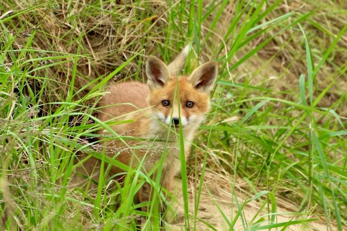 Interdisons la chasse au renard : ce prédateur de rongeurs favorise l'agriculture sans pesticides