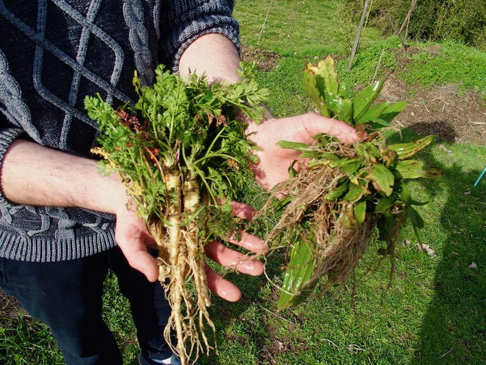 Des racines de carotte sauvage et de plantain lancéolé tout juste cueillies