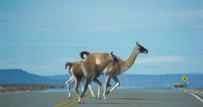 Patagonie, traversée de guanacos