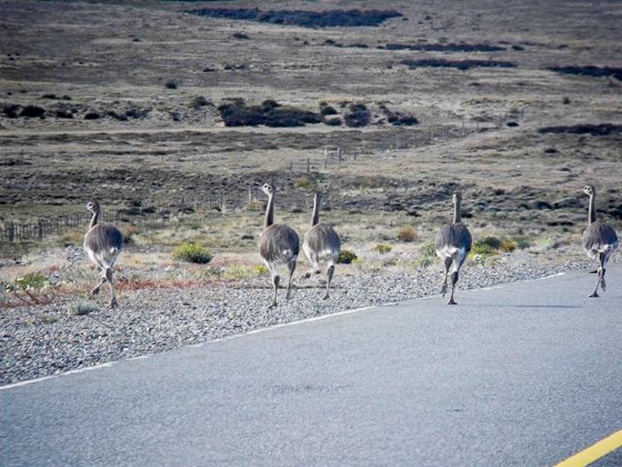 les nandus traversent la ruta 40 près de Bajo Caracoles