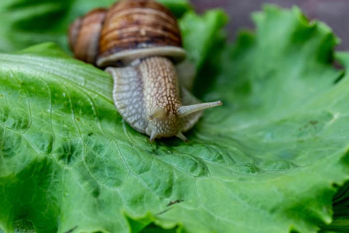escargot sur une feuille de laitue