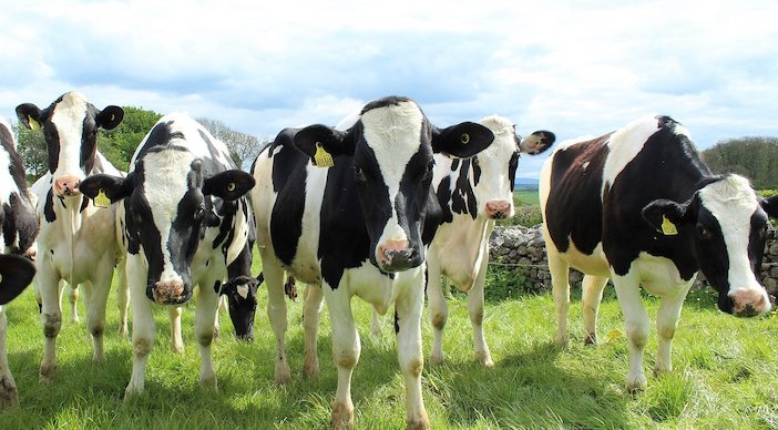 vaches écornées